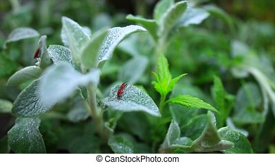 bug sitting on a leaf lemon balm during sunrise.