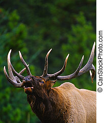 Bugling Bull Elk