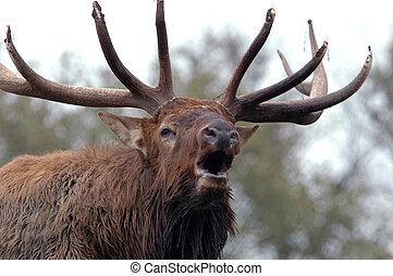 bugling, eland