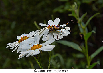 Bugs on flowers of chamomile.