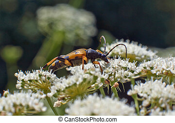Bugs on pollen on flowers of chamomile.