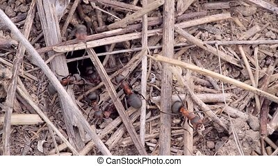 building anthill close up - working ants, and ants are the...