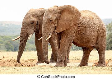 buisson, éléphants, marcher ensemble