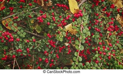 buisson, baie, fruits, branches