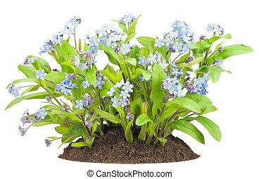 """buisson, fleurs, lit, """"forget-me-nots"""""""