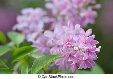 buisson, lilas, fleurir
