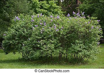 buisson, lilas