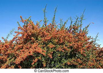 buisson, pyracantha