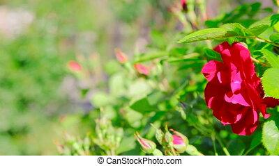 buisson rose, extérieur, haut fin