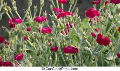 buisson, rouges, jardin, fleurs