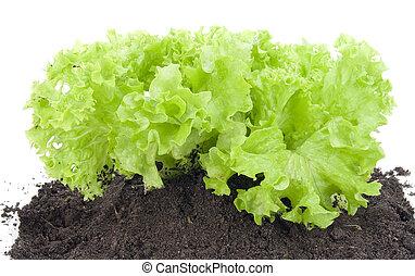 buisson, vert, lit, salade