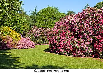 buissons, été, rhododendron, jardin