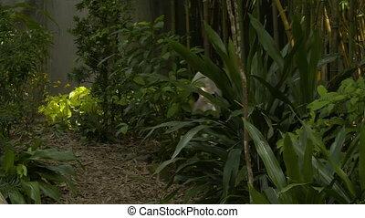 buissons, errant, par, panda, avants