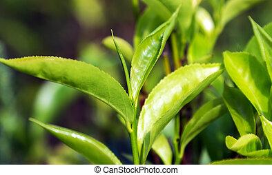 buissons, feuilles thé, arrière-plan vert