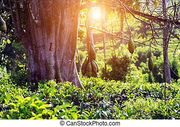 buissons, feuilles thé, mangue, arrière-plan vert