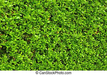buissons, feuilles, vert