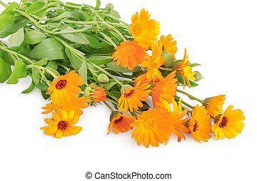 buissons, isolé, calendula, fond, orange, fleurs blanches