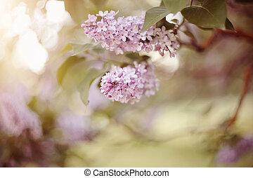 buissons, lilac., fleurs, floraison, branches