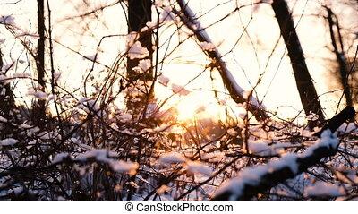 buissons, mouvement, rayons, branches, neige, arbres, coupure, forêt, lent, par, coucher soleil