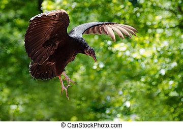 buitre, vuelo, bosque, negro