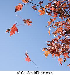 bukás, leaves., juharfa, piros