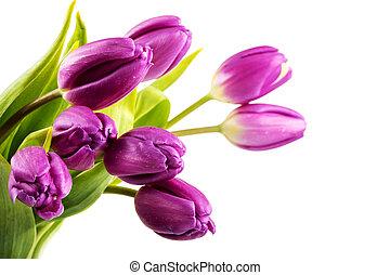 bukiet, purpurowy, biały, tulipany