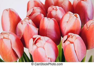 bukiet, purpurowy, odizolowany, tulipany