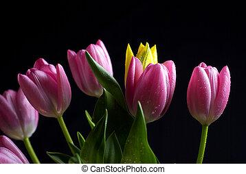 bukiet, tulipany, czarne tło