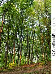 bukowy, las