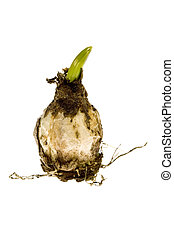 bulb. baby plant