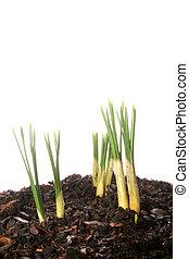 Bulb shoots - Spring bulb shoots