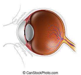 bulbo oculare, umano