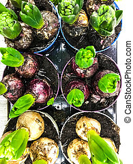 Bulbs of hyacinths in pots with earth