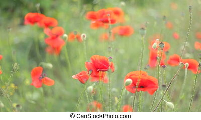Bulbs of opened red poppies swaying