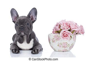 buldog, kwiaty, francuski
