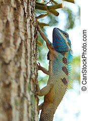 Bule thai lizard on tree