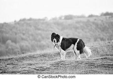 bulgarian black and white sheep dog