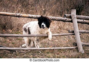bulgarian sheep dog