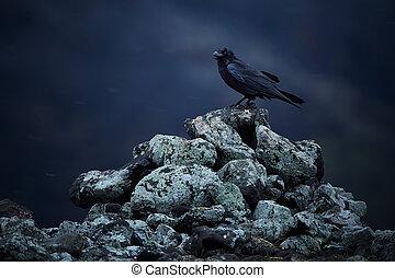 bulgarije, zittende , foto, sneeuw, rotsen, dramatisch, algemeen, (corvus, blizzard., rodopy, corax), raaf