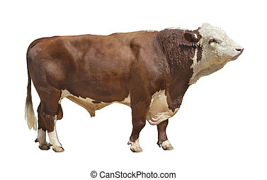 bull-2