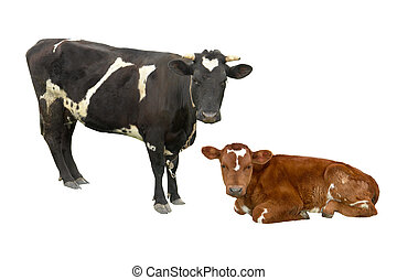 cow - bull and cow on a white background