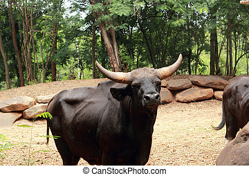 Bull black in the nature