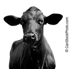 bull-calf - Bull; cow, bull-calf