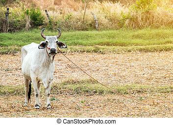 Bull, cow in the farm.
