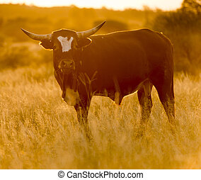 Bull Cow - Large male bull cow with horns grazes in long...