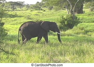 Bull Elephant guiding a female in the Tarangire National...