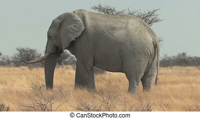 Bull Elephant walking through the savannah during the dry season in Etosha National Park, Namibia, Africa