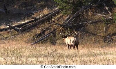 Bull Elk - a big bull elk in rut