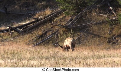 Bull Elk - a big bull elk in rut