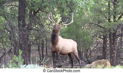 Bull Elk - a big bull elk rubbing his antlers on tree...
